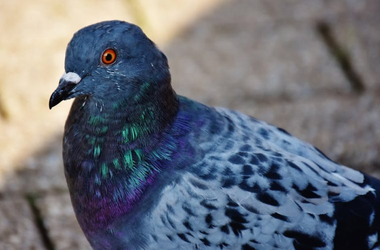 World Game Fowl Expo And 4th World Pigeon Expo & Congress — Animal