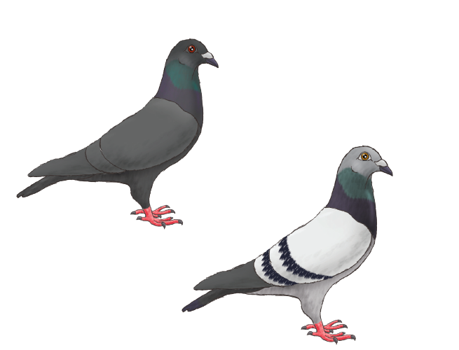 Racing Pigeons: The Thrill and Mystery — Animal Scene Magazine