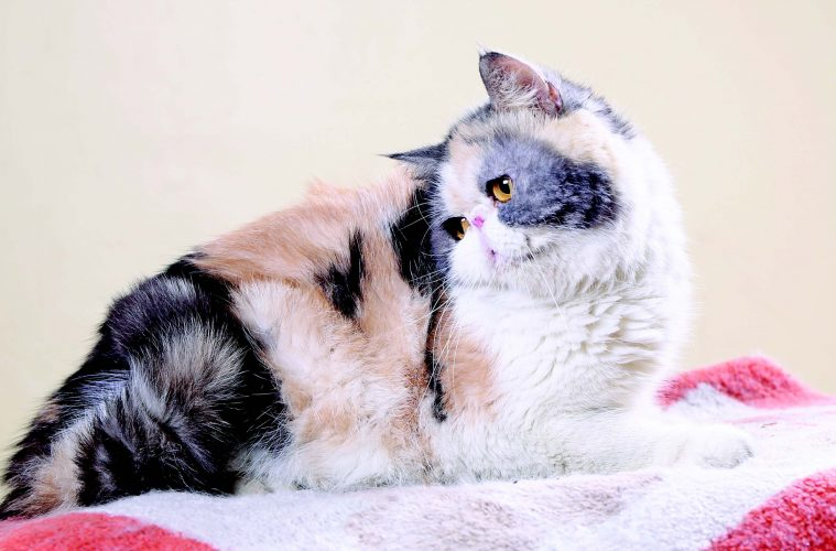 Male Exotic Shorthair Pawfinder Philippines