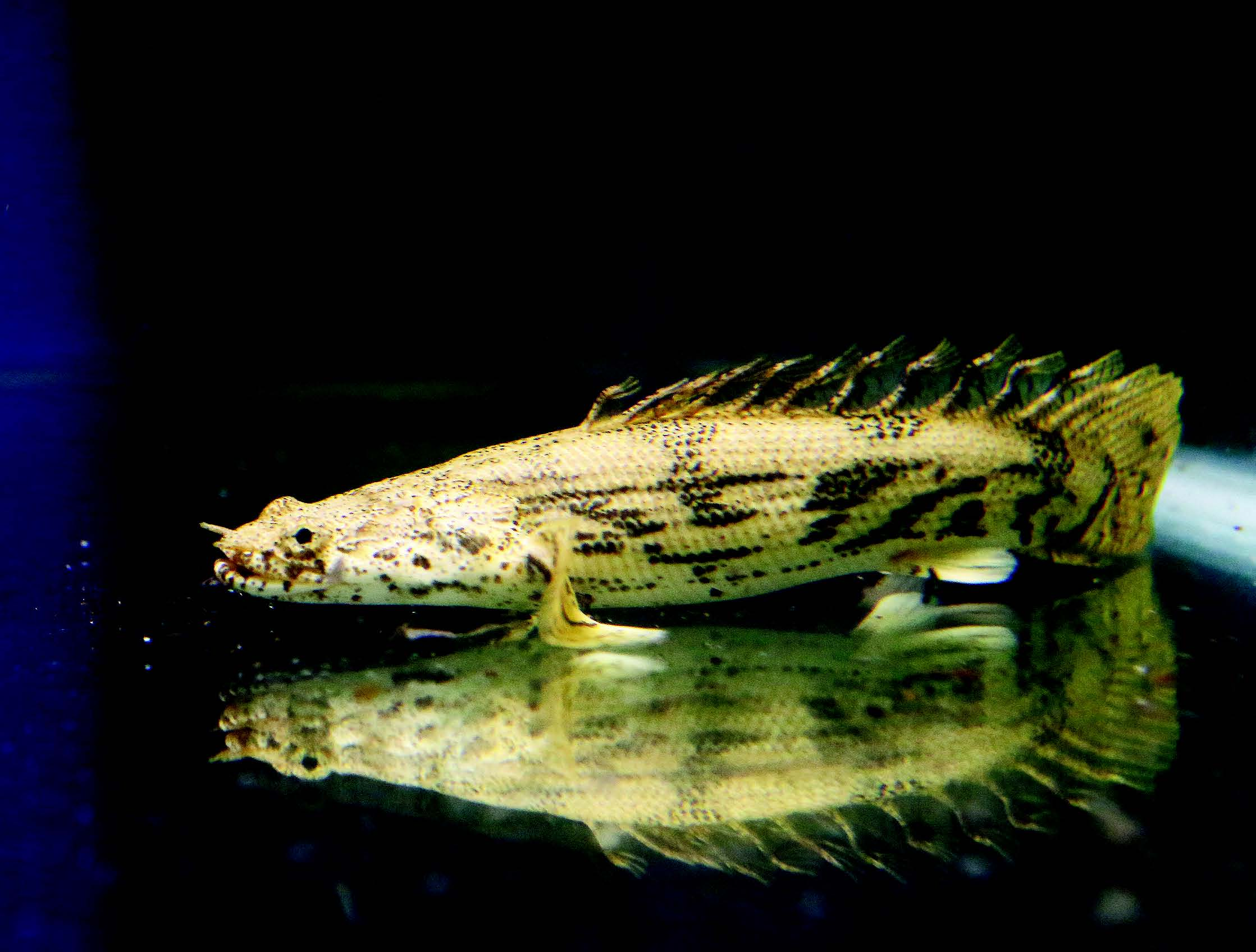 Is Your Bichir Wild Caught Or Captive Bred Part One Of Two Parts Animal Scene Magazine