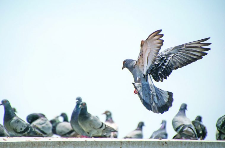 Avian Athletes Who Start Their >> Athletes Of The Sky An Introduction To Pigeon Racing In The