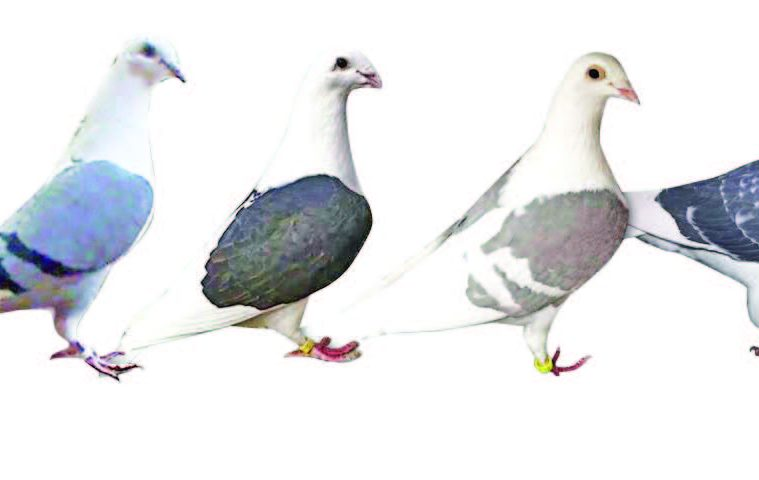 Off-Color Racing Pigeons' Emerging Popularity — Animal ...